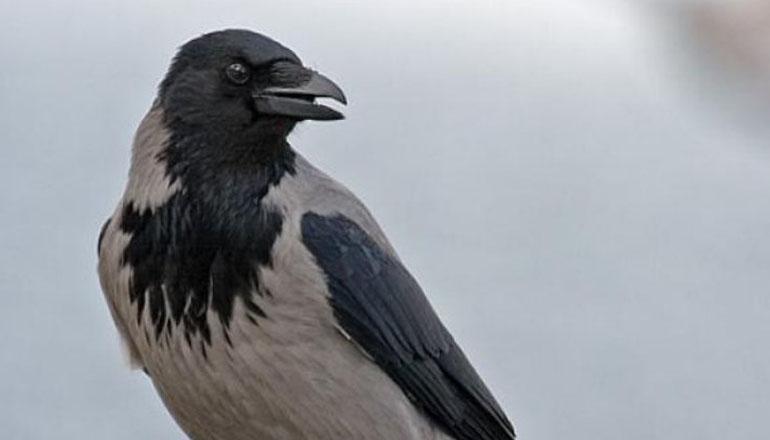 Ворона украла у мужчины паспорт во время пересечения границы