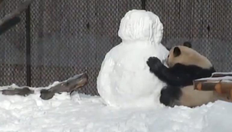 Смешная панда в снегу «взорвала» сеть. Видео