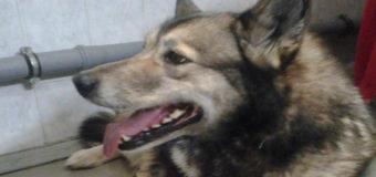 Раненая собака в Киеве сама пришла за помощью к медикам. Фото