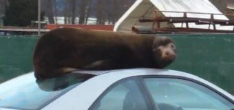 В США морской лев решил вздремнуть на крыше авто. Видео