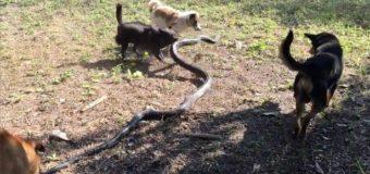 Отважные псы спасли своих хозяев от 2,5-метровой смертоносной кобры. Видео