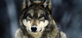 На Черниговщине мужчину атаковал волк