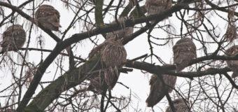 Днепряне в ужасе от нашествия сов. Фото