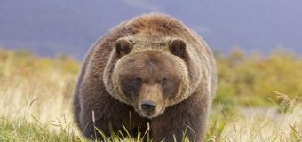 Биологи установили распорядок дня медведей