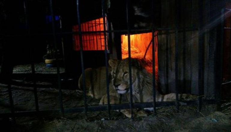 Лев напал на посетителя бани в Запорожье. Фото
