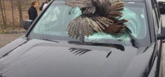 В США огромная индейка пробила лобовое стекло легкового авто. Фото
