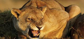 В частном секторе на Черниговщине ночью бродила львица
