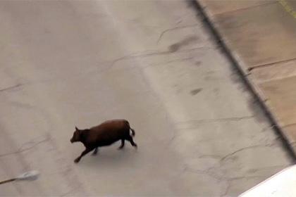 В США шесть коров совершили побег со скотобойни. Видео