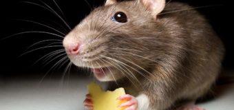 В Сингапурской квартире завели мышиную ферму. Видео