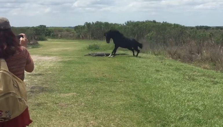 Во Флориде дикая лошадь напала на аллигатора. Видео