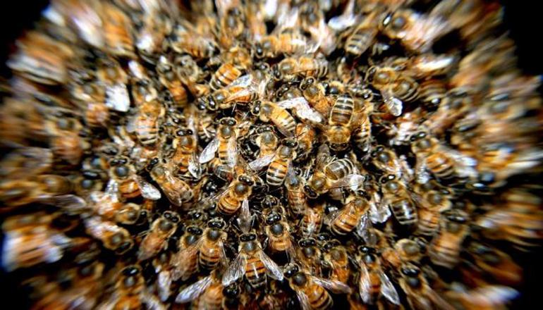 ЧП в Нью-Йорке: 20 тысяч пчел заблокировали вход в небоскреб. Видео