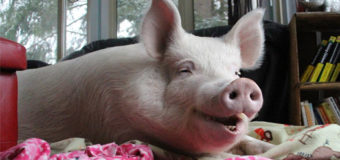Украинские кабаны заразили российских свиней африканской чумой