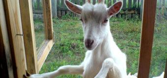 На Львовщине займутся выращиванием коз