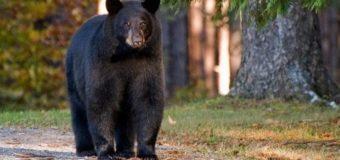 В Америке мать отбила маленькую дочь от разъяренного медведя