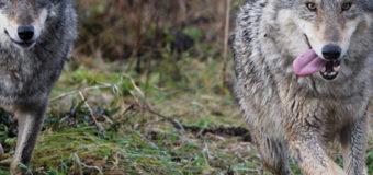 На Киевщине резко выросло количество волков