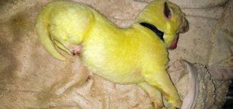 В США родился необычный пес с салатовой шерстью. Фото. Видео